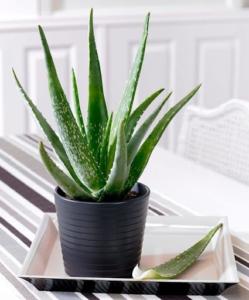babosa-planta