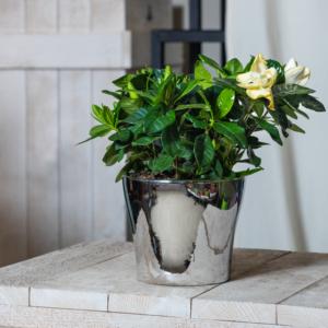 flor-gardenia