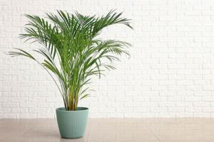 palmeira-bambu-planta